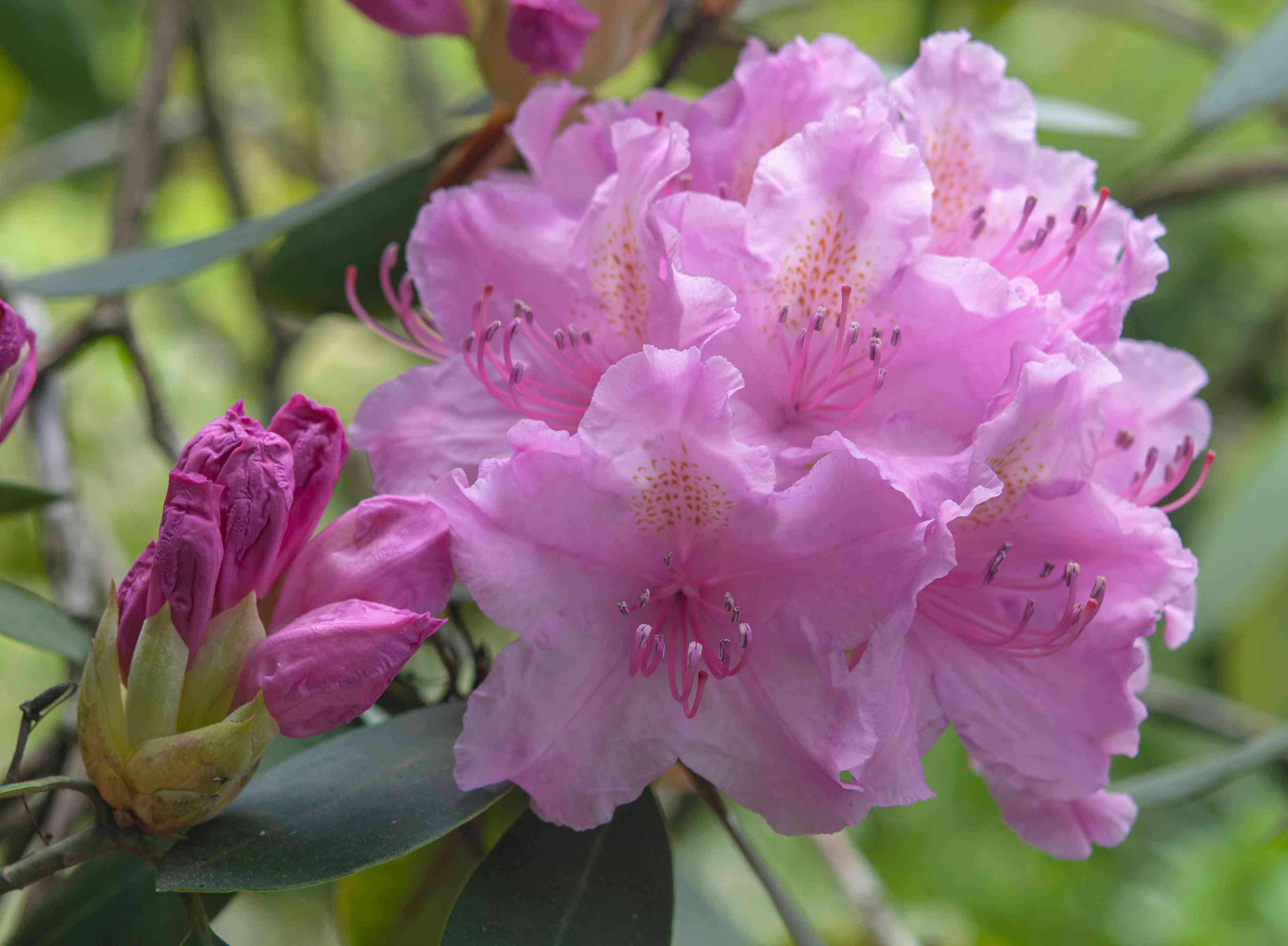 Rhododendron shrub with pink flowers and buds closeup