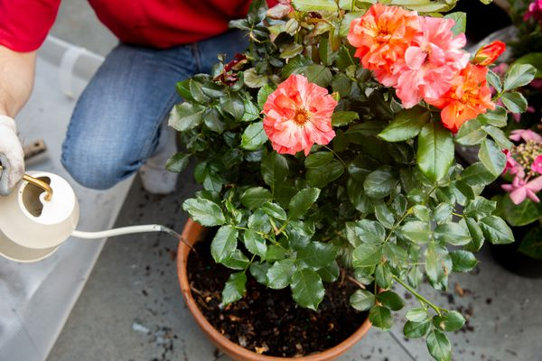 Orange-red roses growing in pot with white watering can pouring water on top