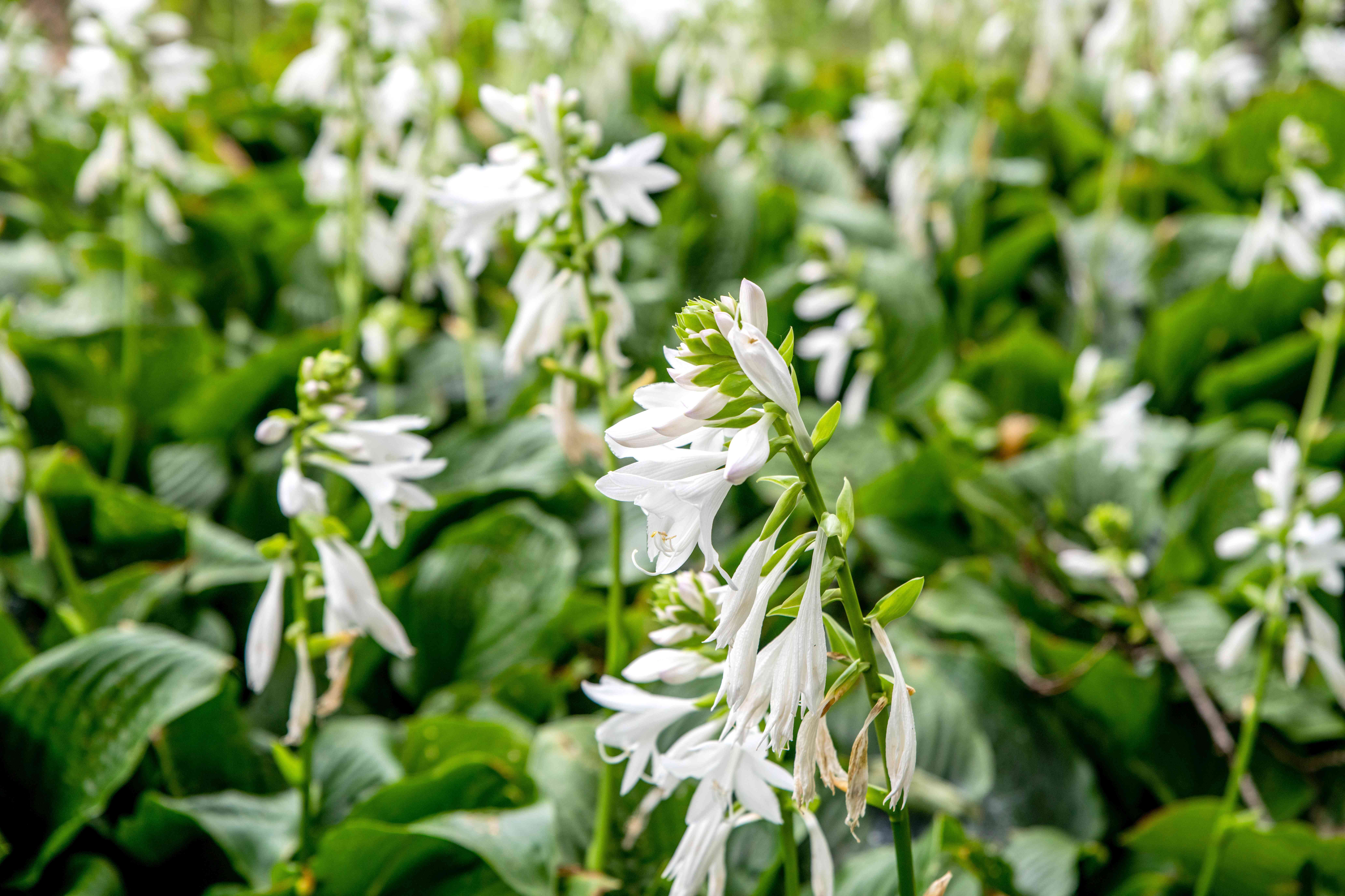Night blooming white flowers with tiny white flowers on tall stems