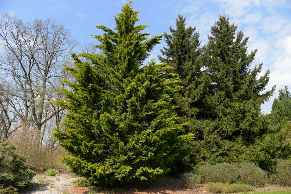 Leyland cypress trees in middle of field and in front of bare tree