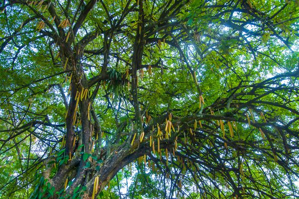 A large moringa tree, photographed from below with the branches against the sky.