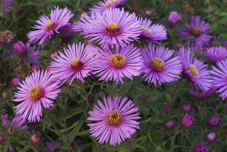New England Aster Flowers With Purple Petals And Yellow Centers