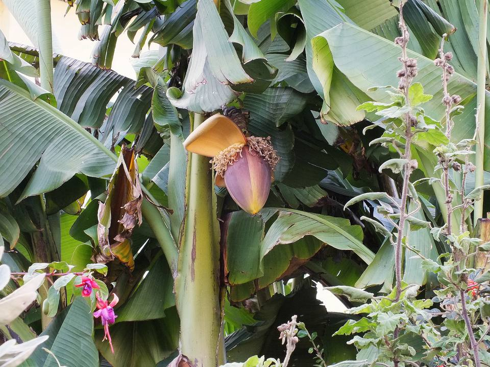 The Japanese banana with a flower.
