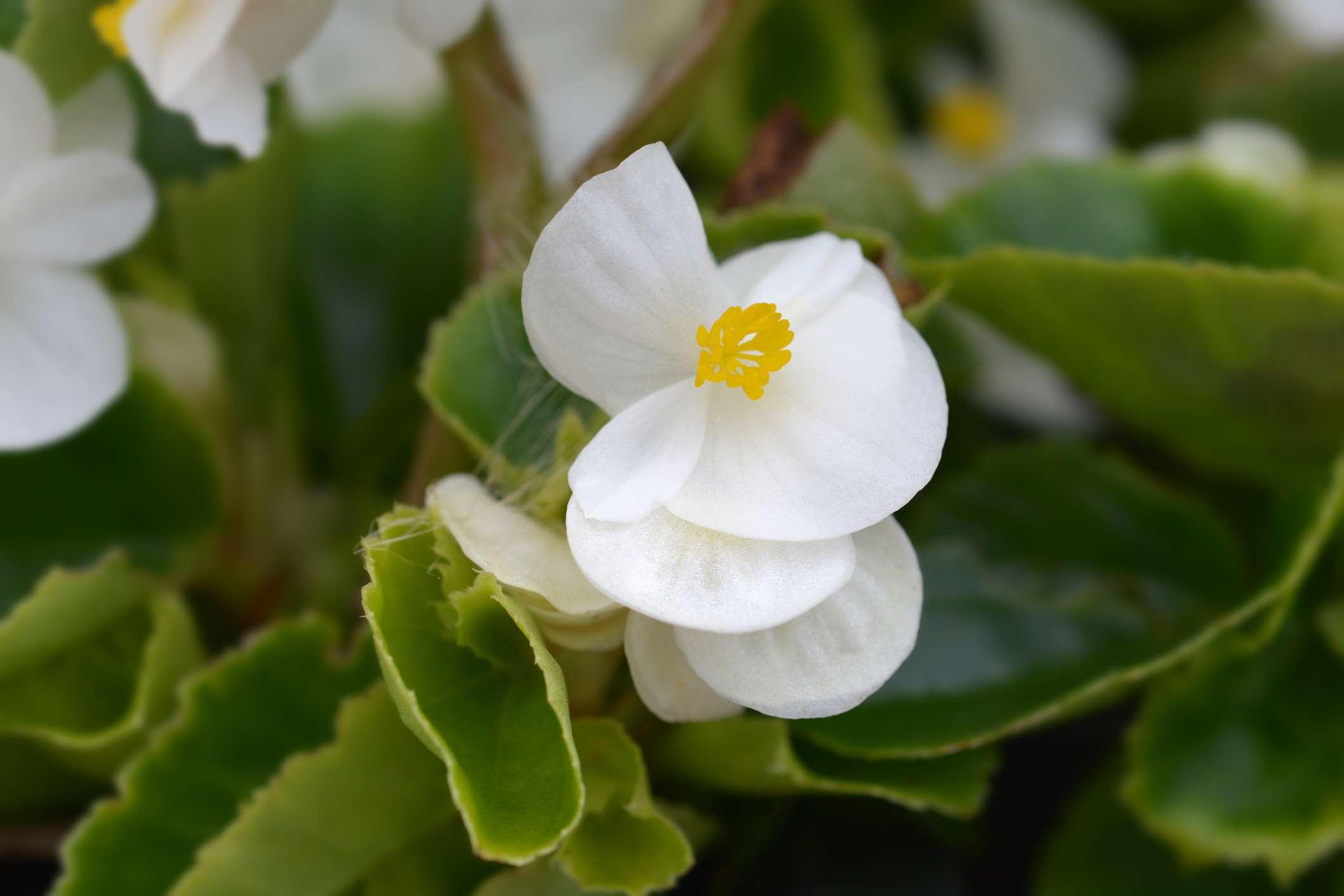 Wax begonia in bloom