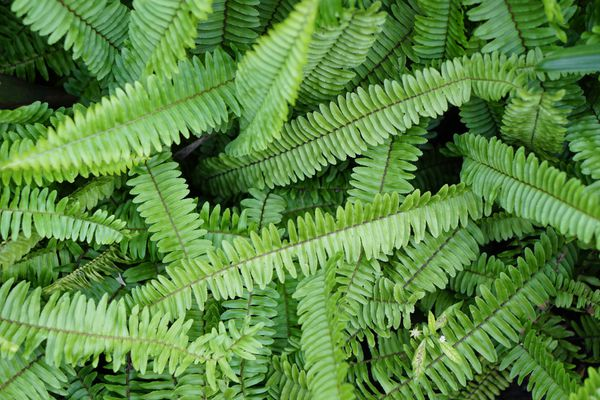 Kimberley queen fern leaves from overhead