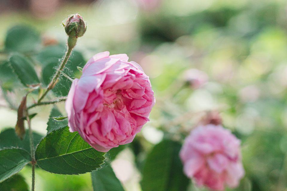 closeup of a hybrid tea rose
