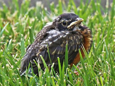 dead robin on doorstep