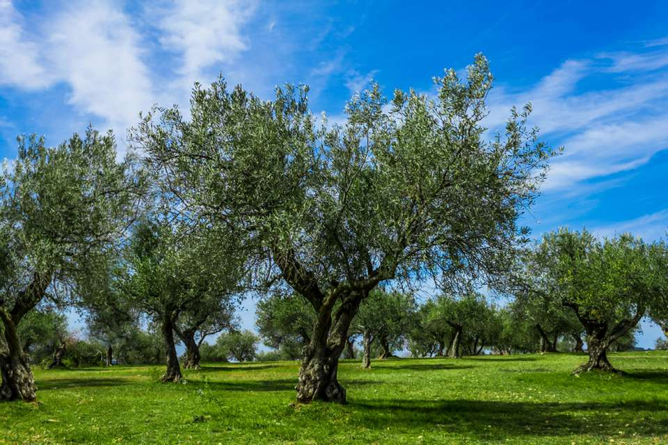 field with olive trees against blue sky