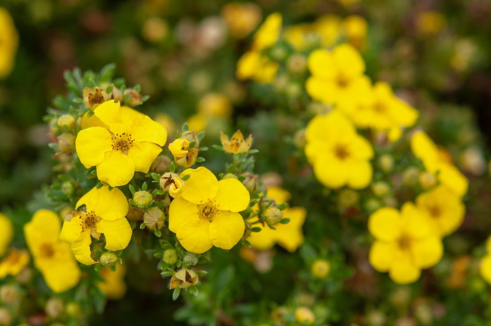 Yellow shrubby cinquefoil