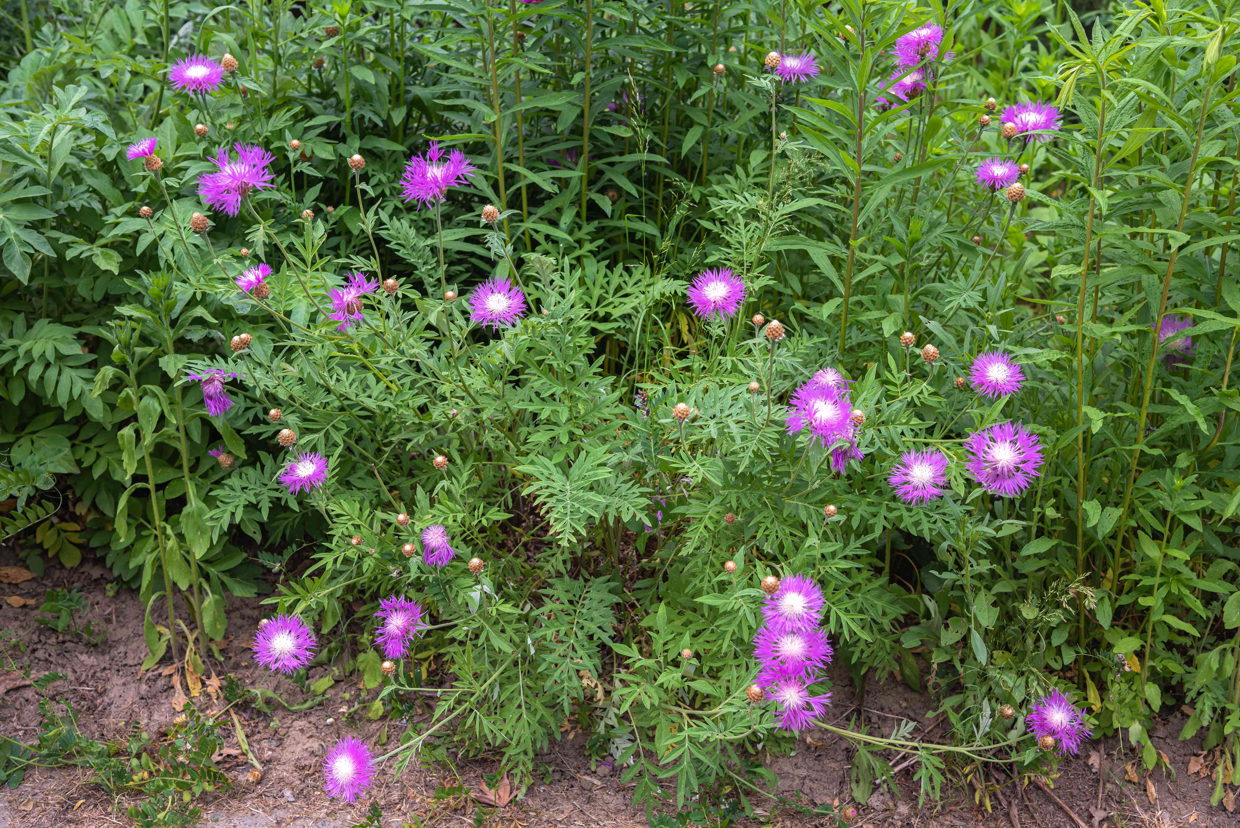 Basket flowers with bright purple petals on tall stems surrounding fern-like leaves