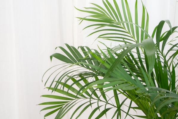 an areca palm growing indoors