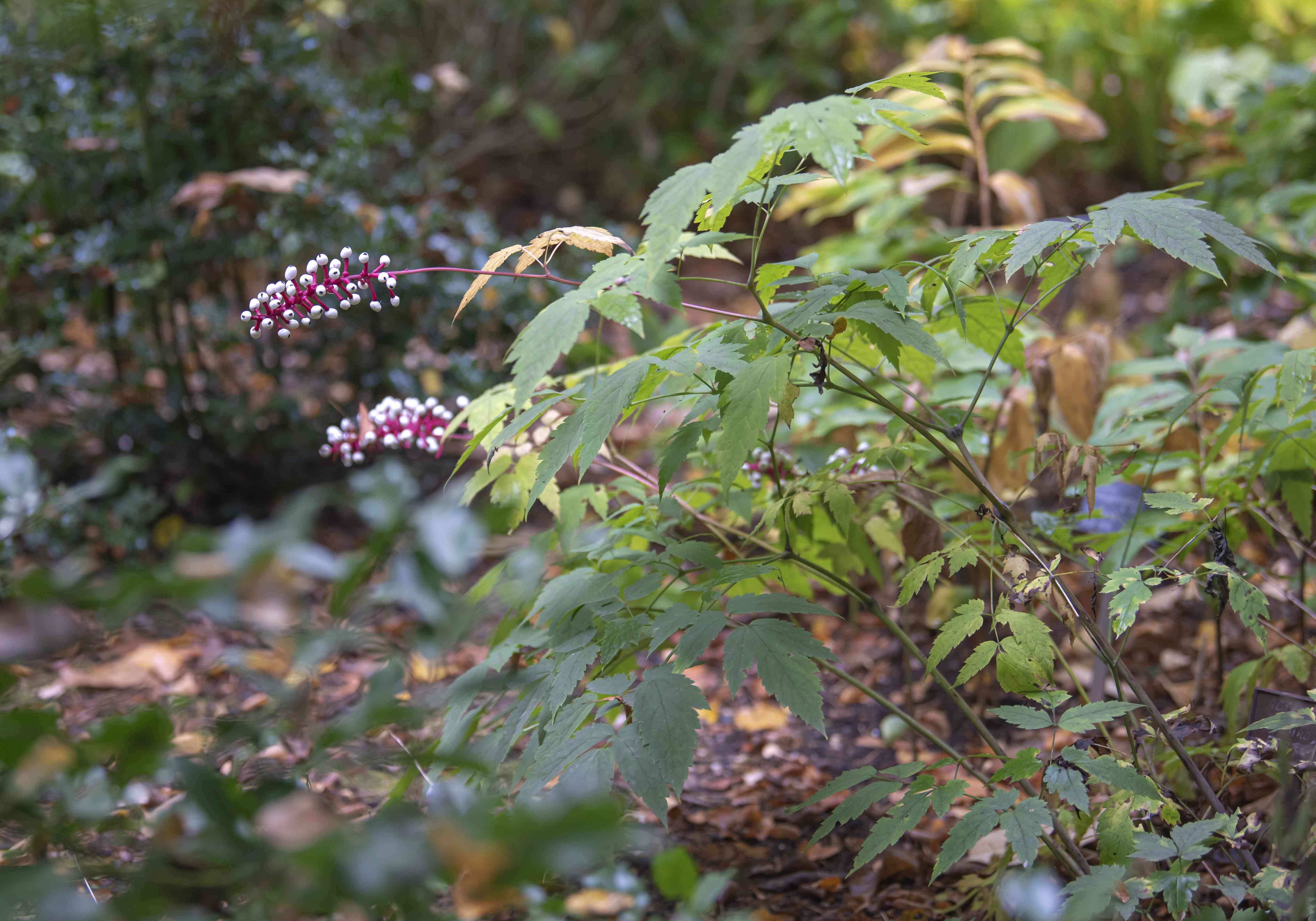 White baneberry plant with long pink stems extending from shrub with white berries