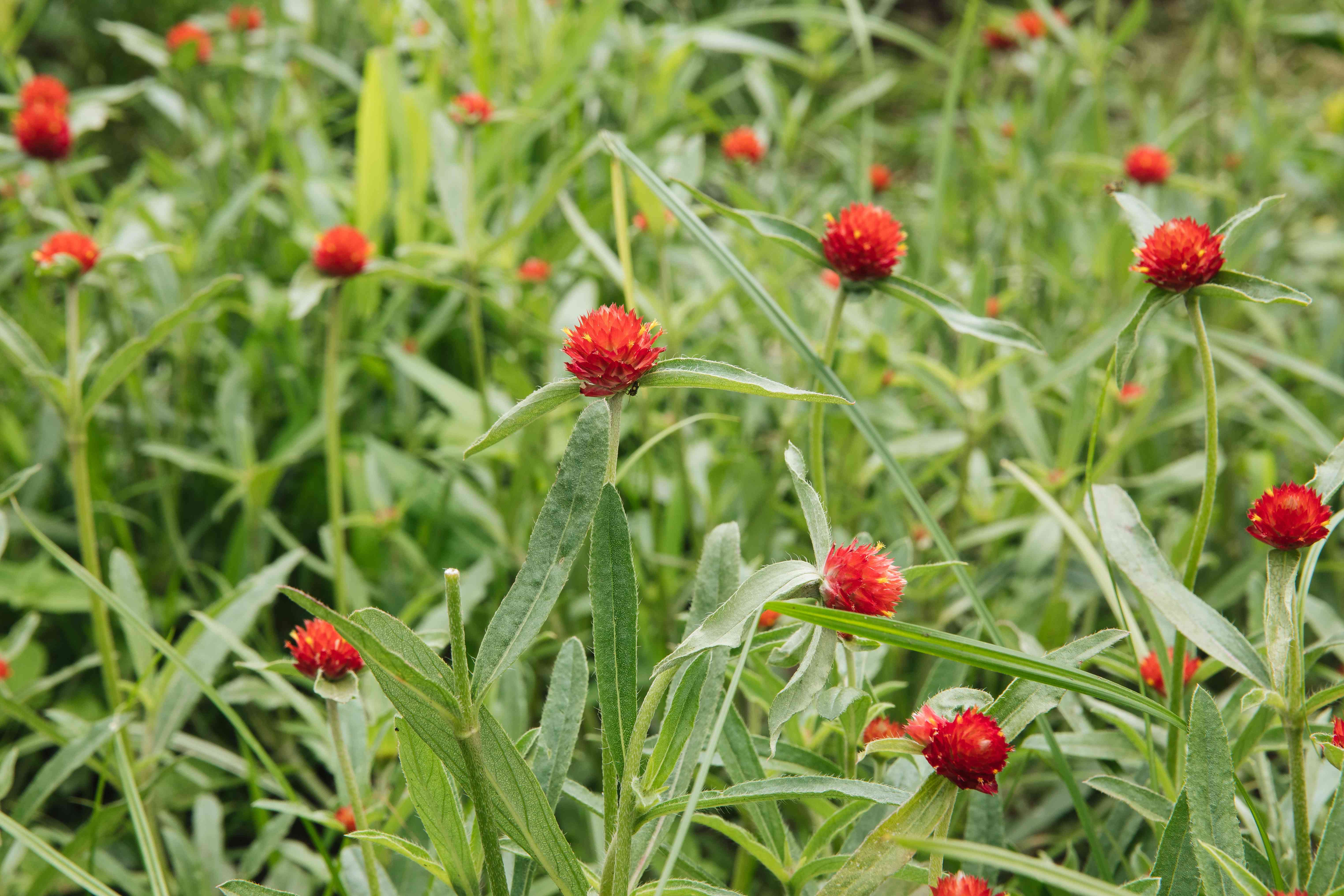 red globe amaranth
