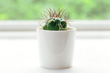 Potted cactus sitting on window ledge