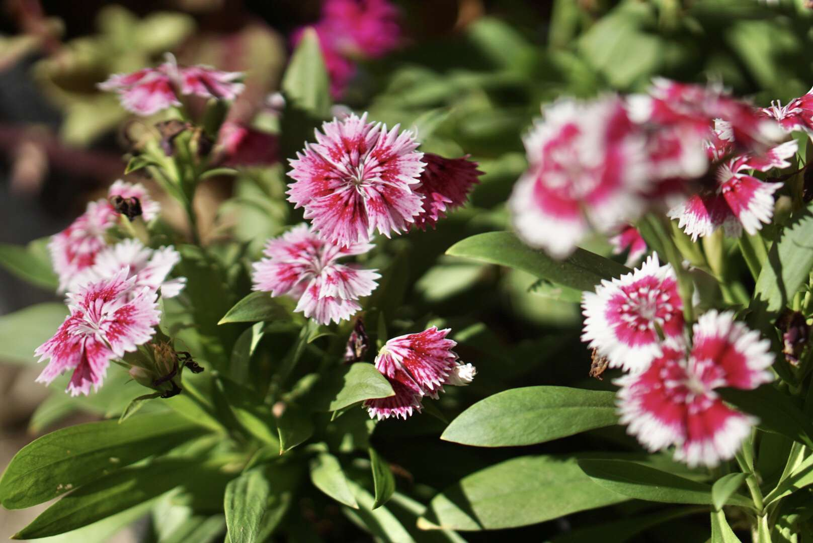 Sweet Williams plant with circular and frilly pink and white flowers in sunlight