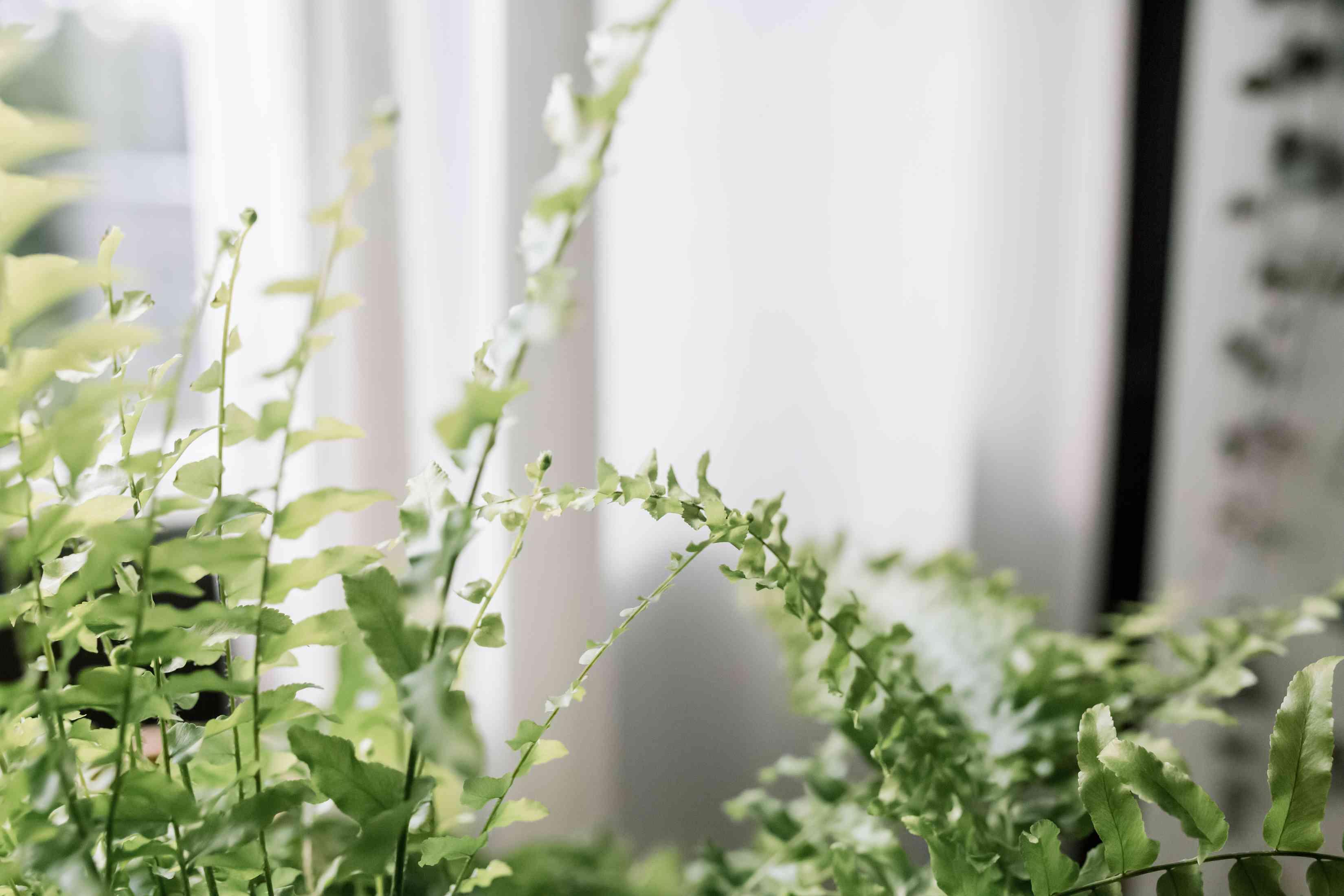 closeup of Boston fern