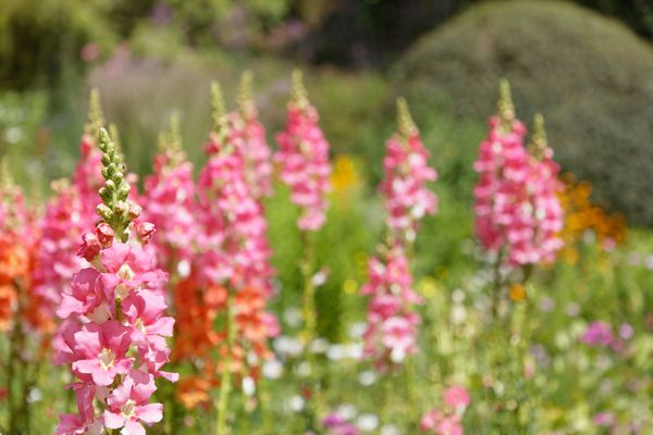 Bright pink and orange spikes of flowers in a meadow setting