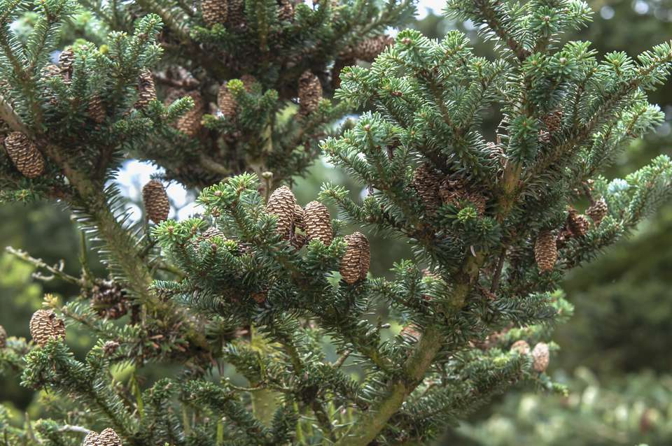Korean fir tree branches with short dense needles and pine cones