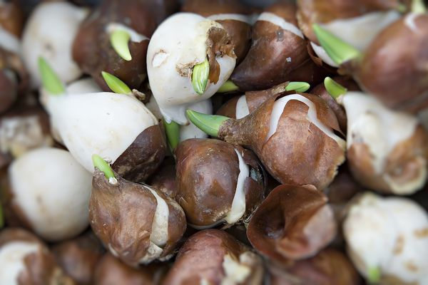 Lucky Strike variety of tulip bulb ready for planting, Wales, UK