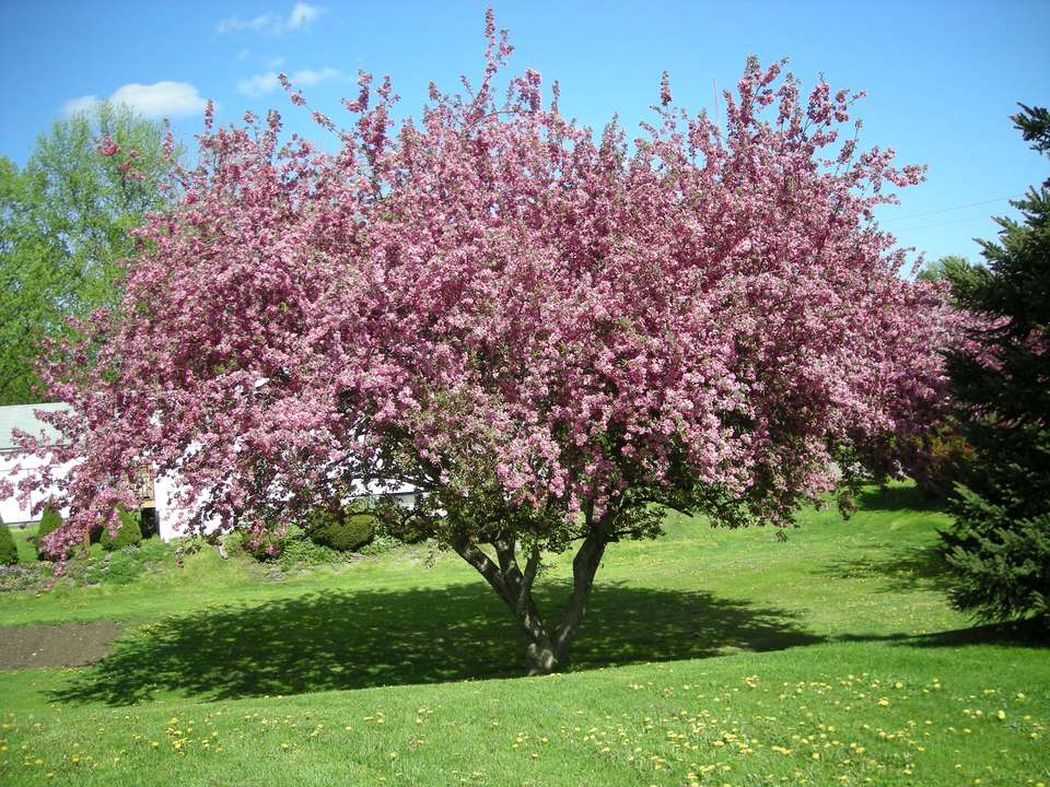 Pink blossoms on flowering crabapple tree on green lawn