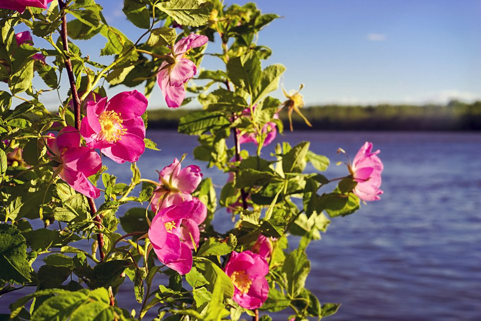 A Carolina rose shrub in front of a lakescape.