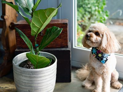 Small dog sitting next to toxic fiddle leaf fig plant