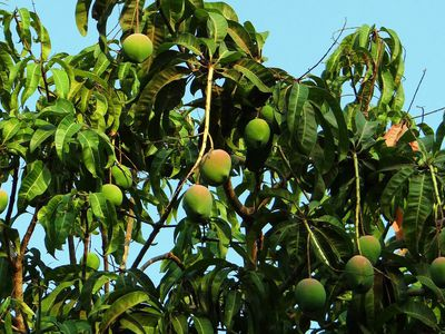 How To Grow And Care For Avocados As Houseplants