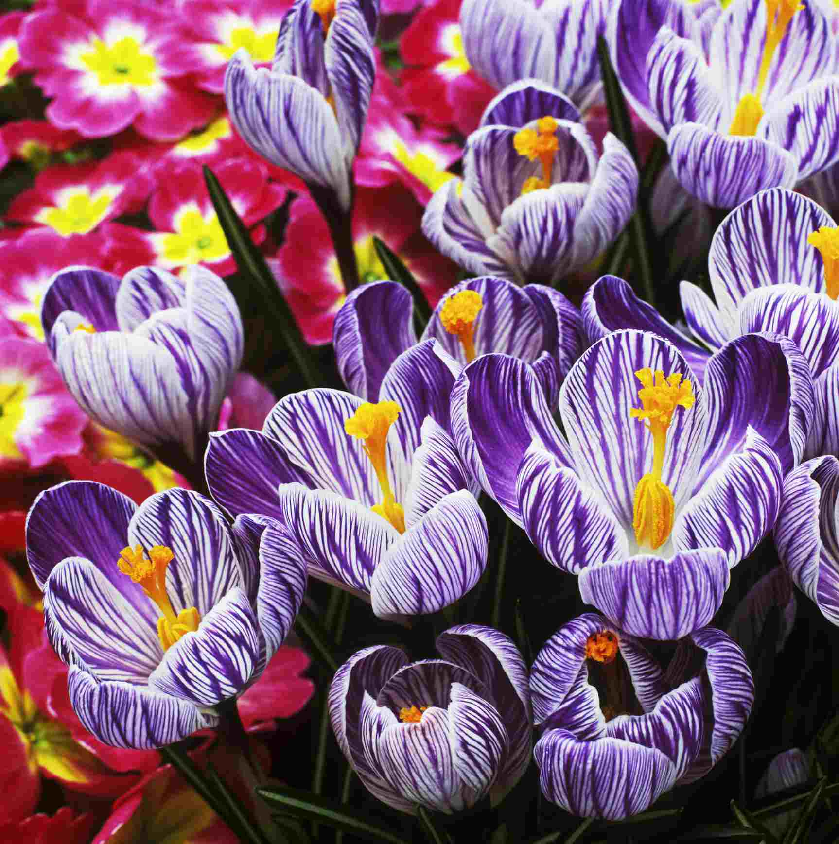 'Pickwick' crocus with purple and white petals