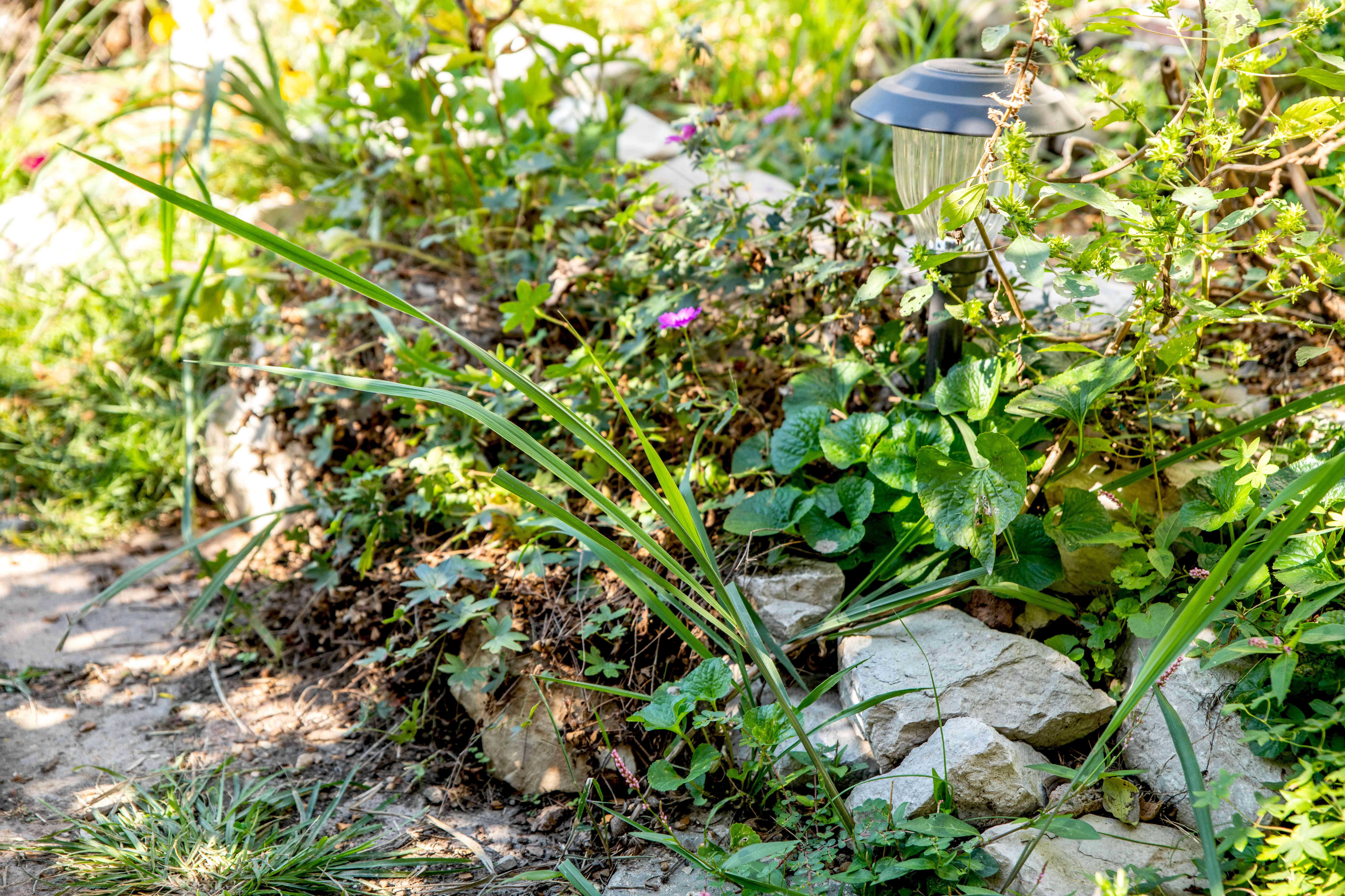 Weed plants covering garden rocks, outdoor light and pathway