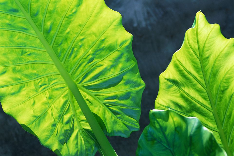 alocasia or elephant ears plant