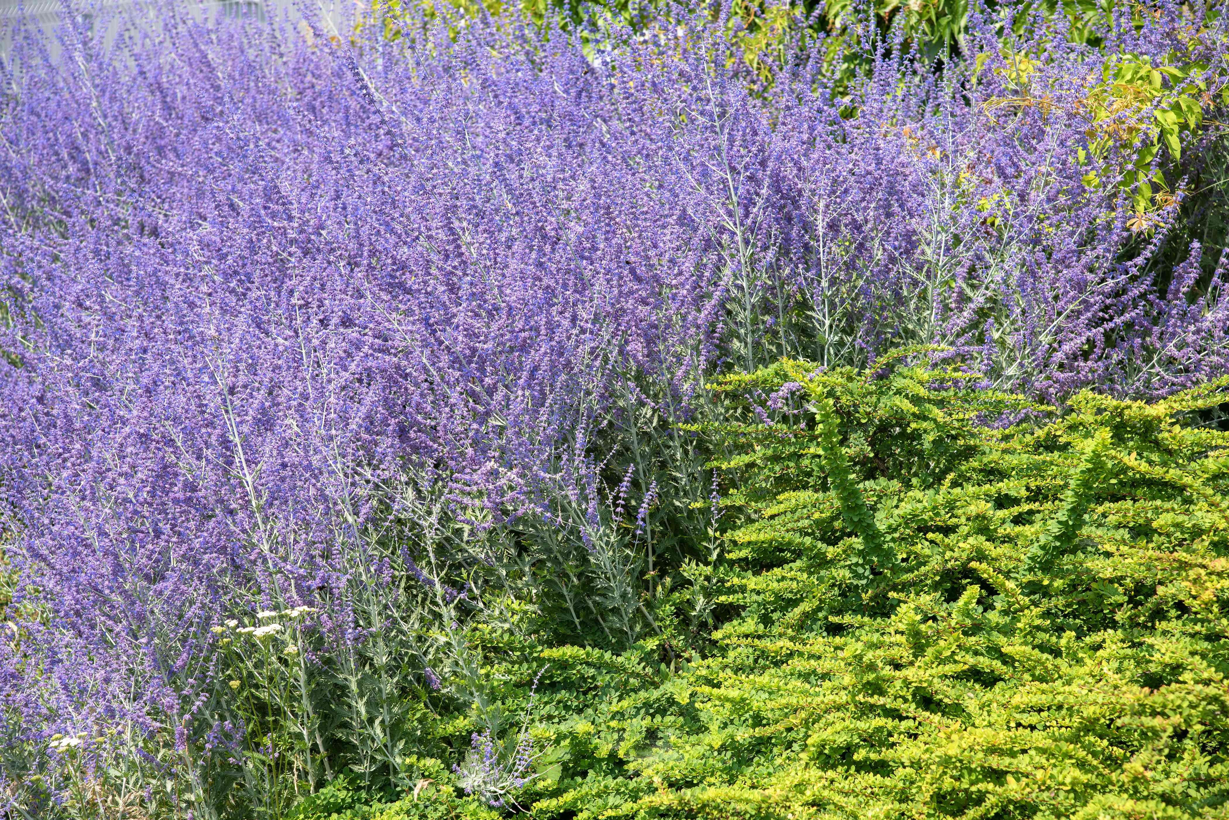 Russian sage her bush with lavender-blue flowers on tall thin stems next to yellow-green bush in sunlight
