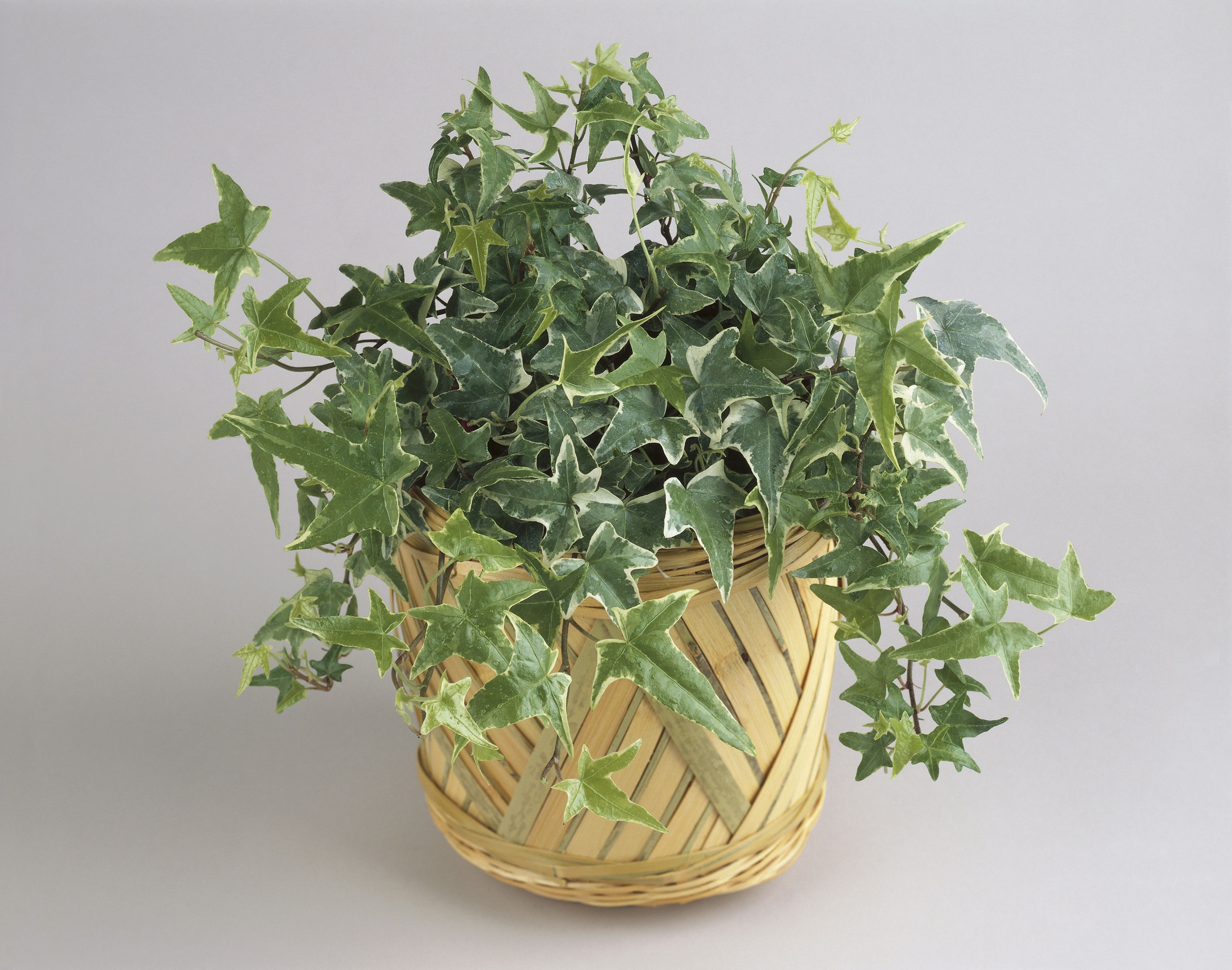 Hiedra inglesa en maceta planta