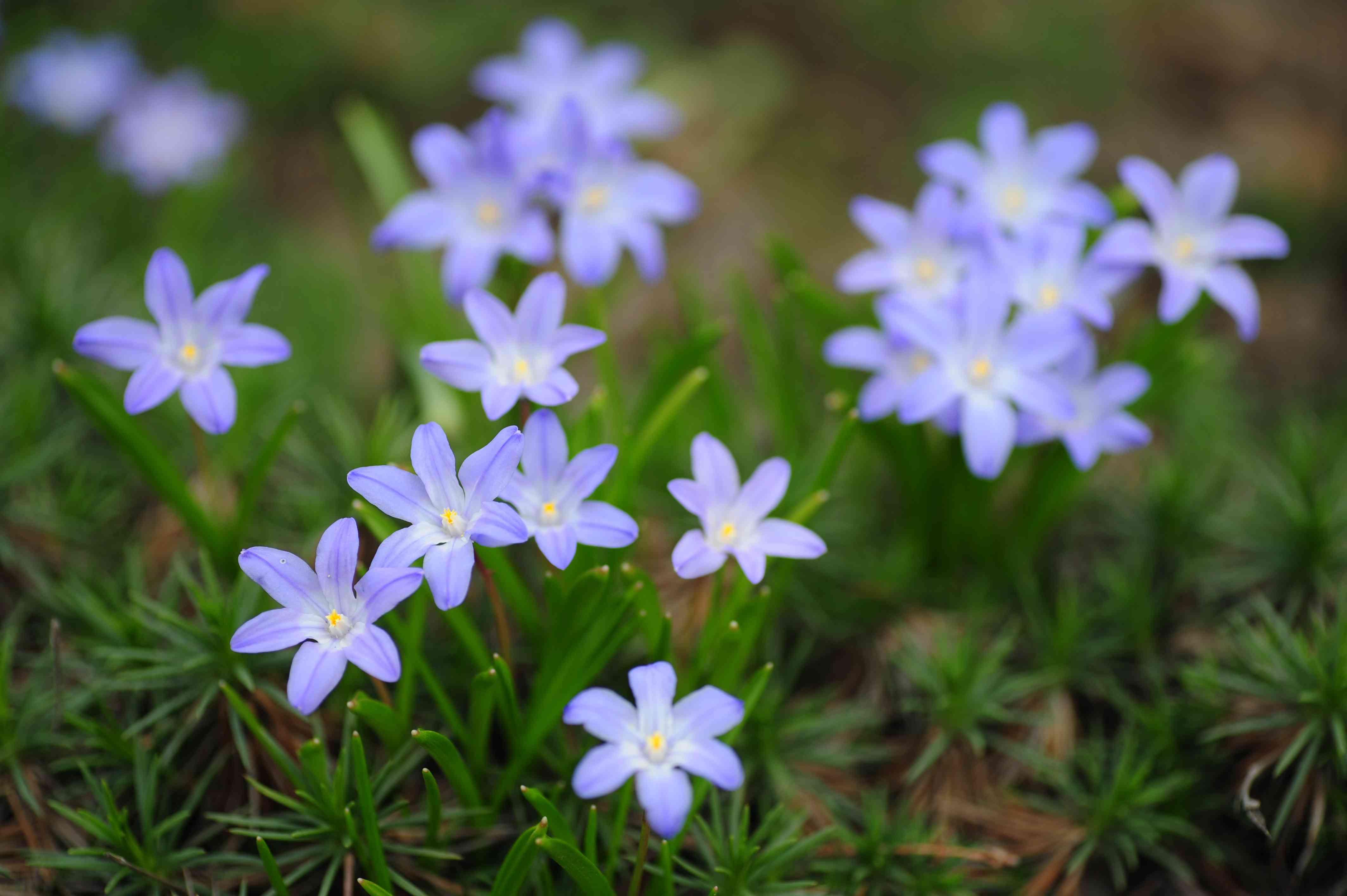 Blue glory of the snow flowers in deer resistant garden