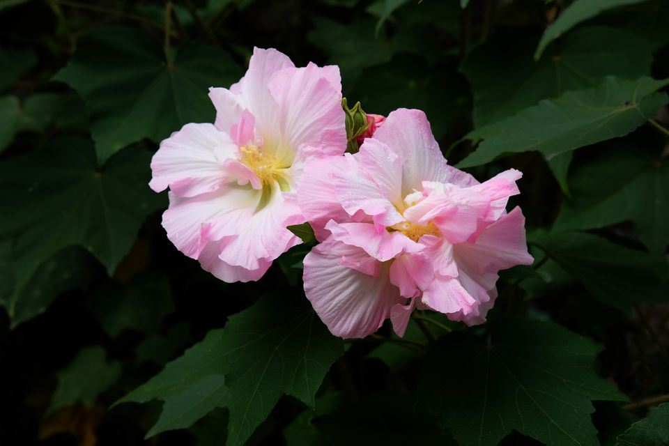 Hibiscus mutabilis with white and pink petals