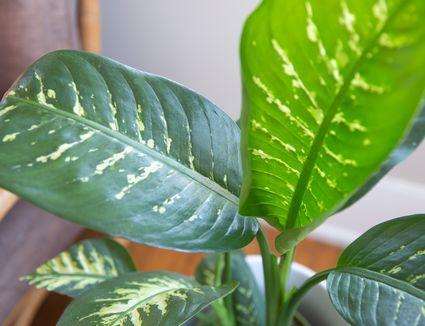 closeup of dumb cane leaves