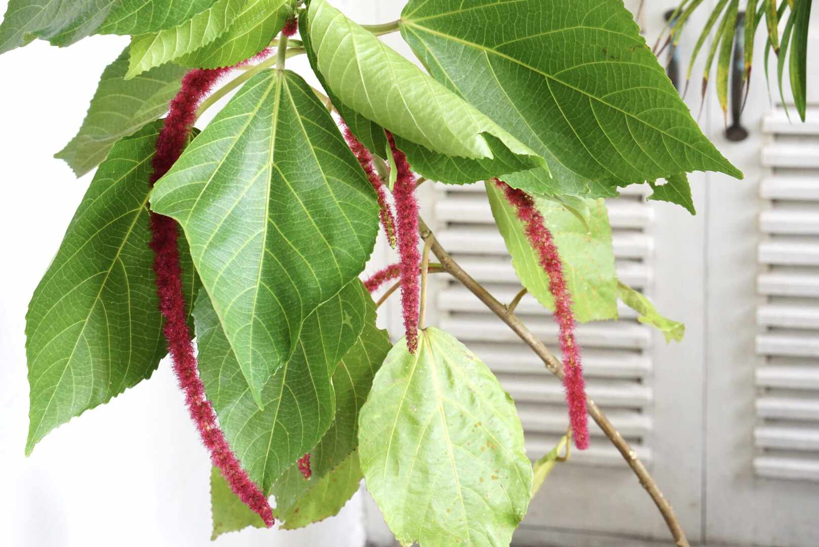 Acalypha plant with large leaves and red bottle brush-like flowers hanging