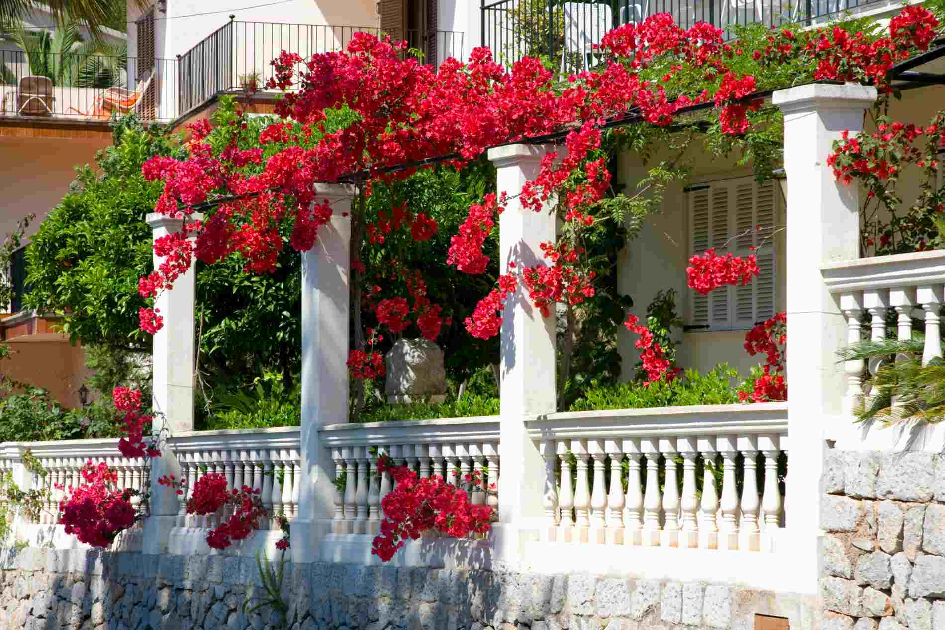 Bougainvillea on arbor and house.
