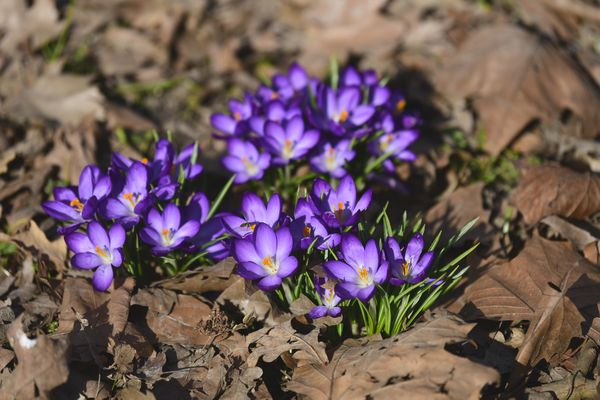 Crocus plant with small bright purple flowers with small green blades surrounded by old brown leaves