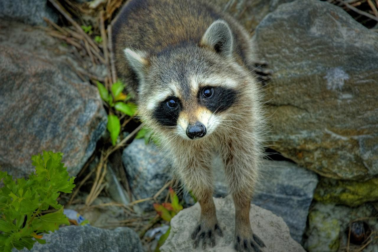 All Basic Facts About Raccoons How To Build Nocturnal Animals Whisker