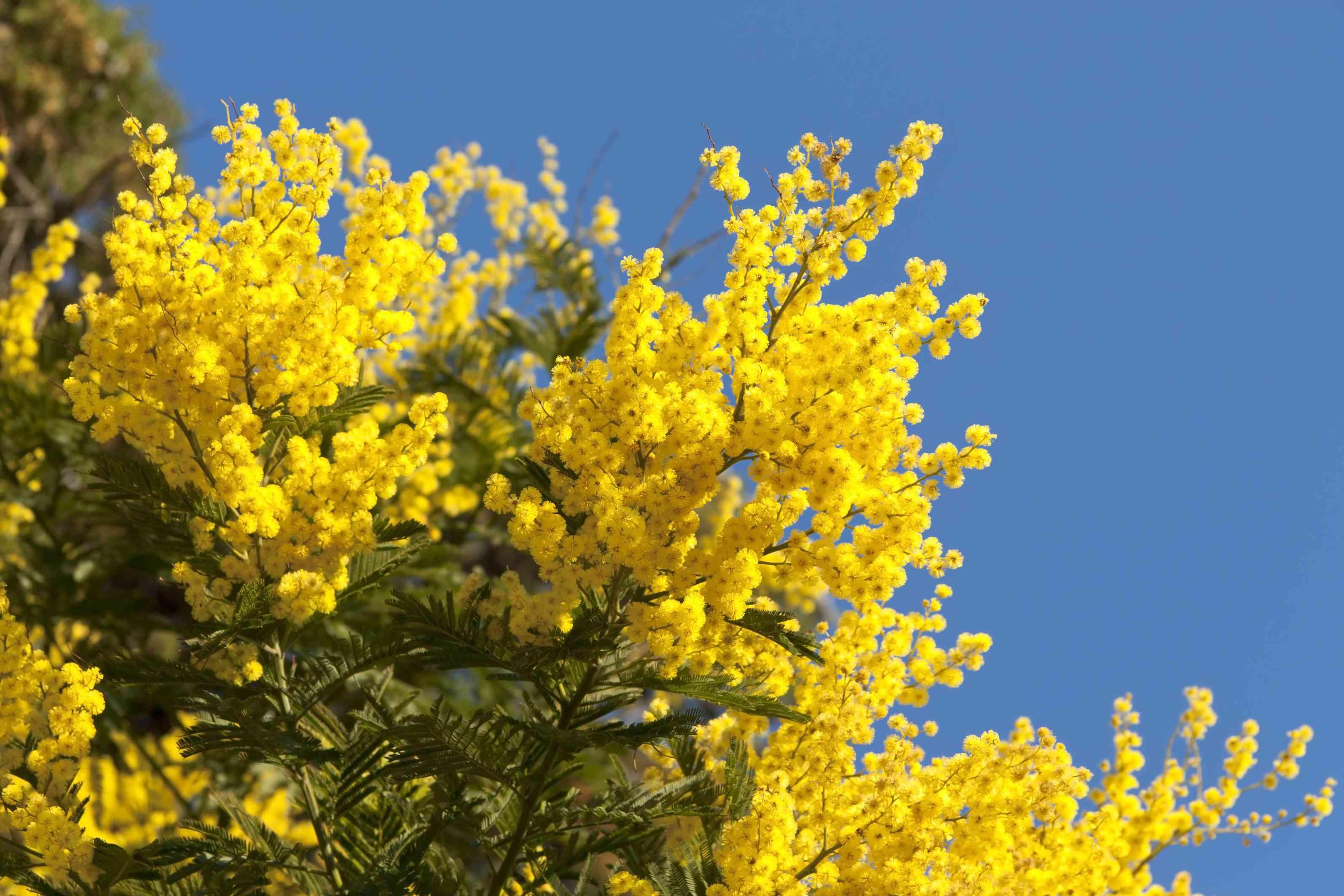 False Mimosa (Acacia dealbata, Mimosaceae)
