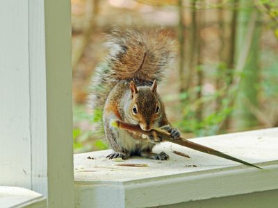 7 Things to Try for Getting Squirrels Humanely Out of Your House - 9 Answers To Squirrel Control