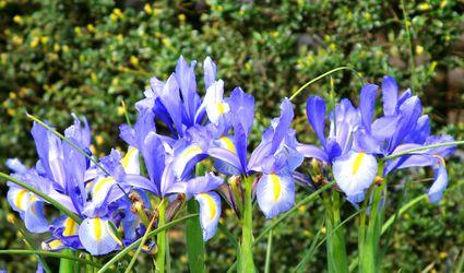 Group of Blue flag irises