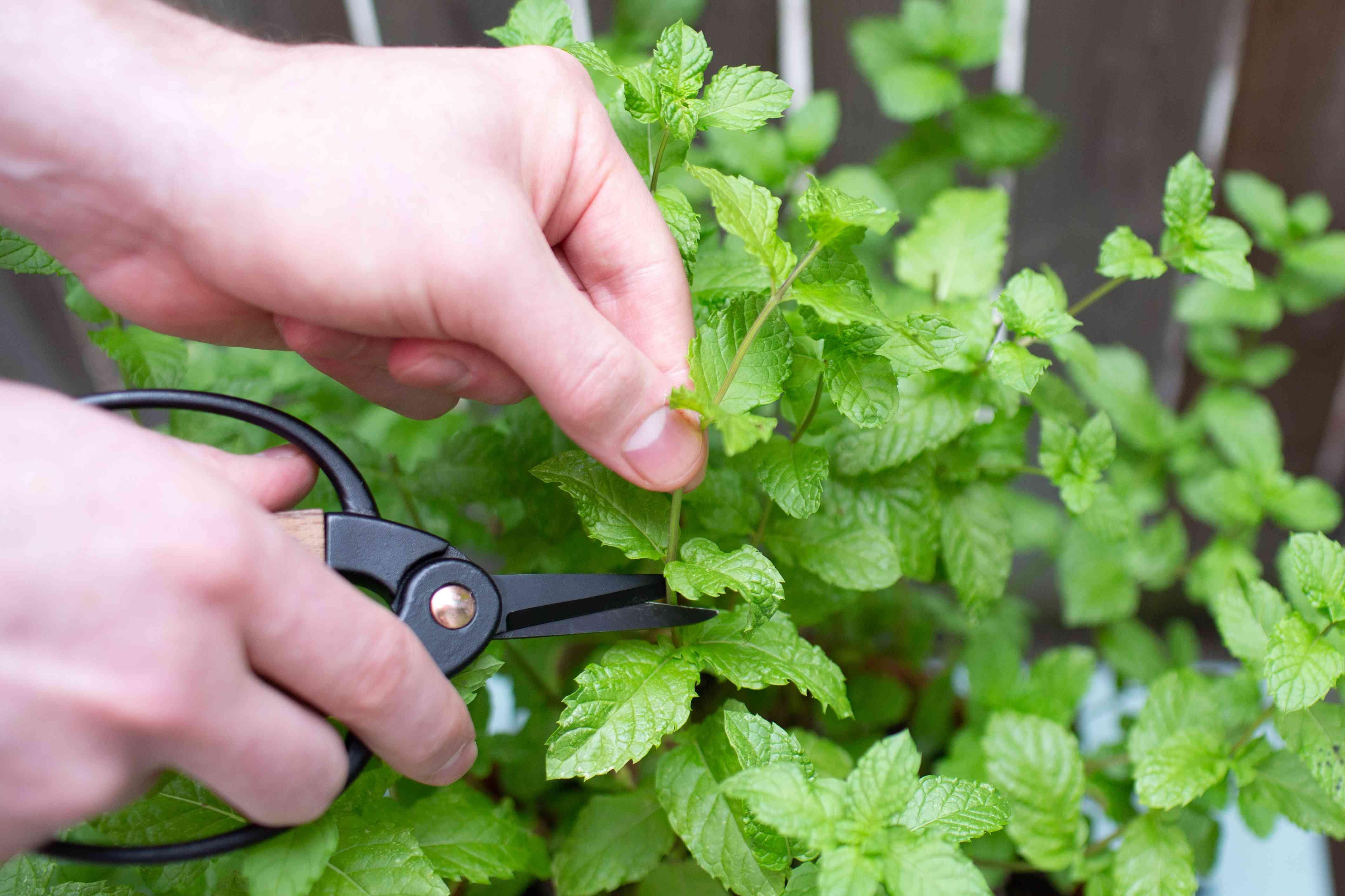 person pruning herbs with garden scissors