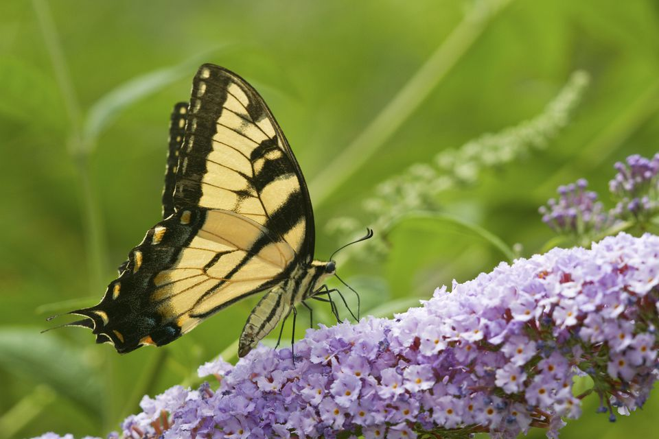 Swallowtail butterfly on butterfly bush.