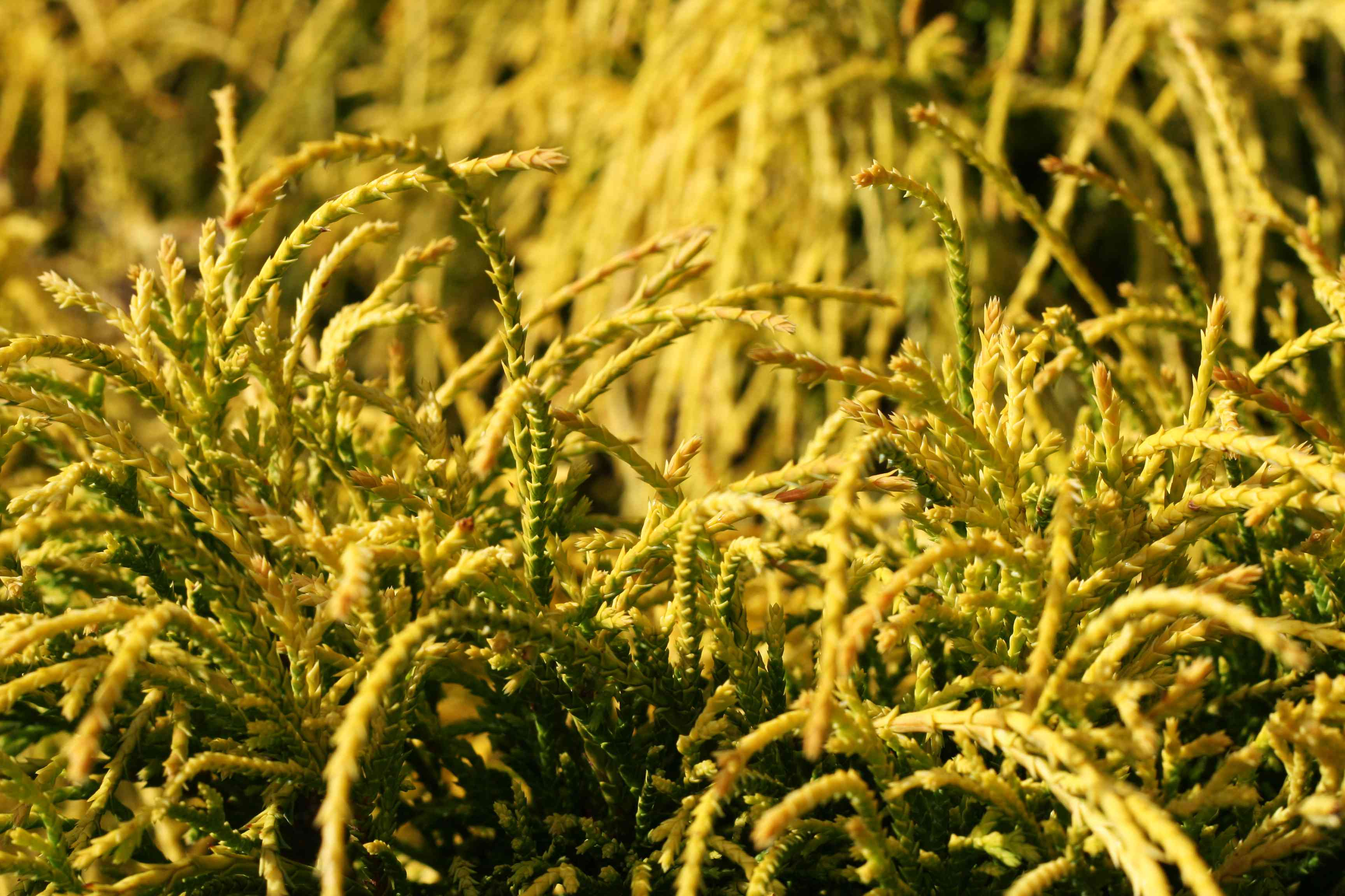 Closeup of foliage of Gold Mops cypress