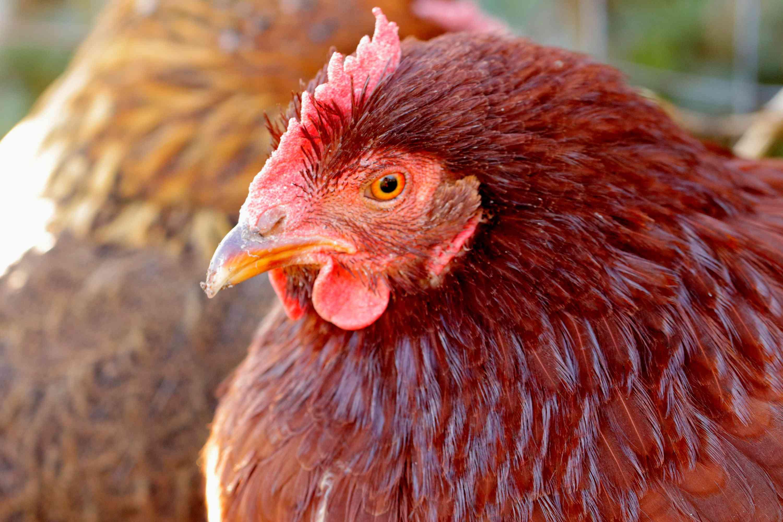 side profile of a Rhode Island Red chicken