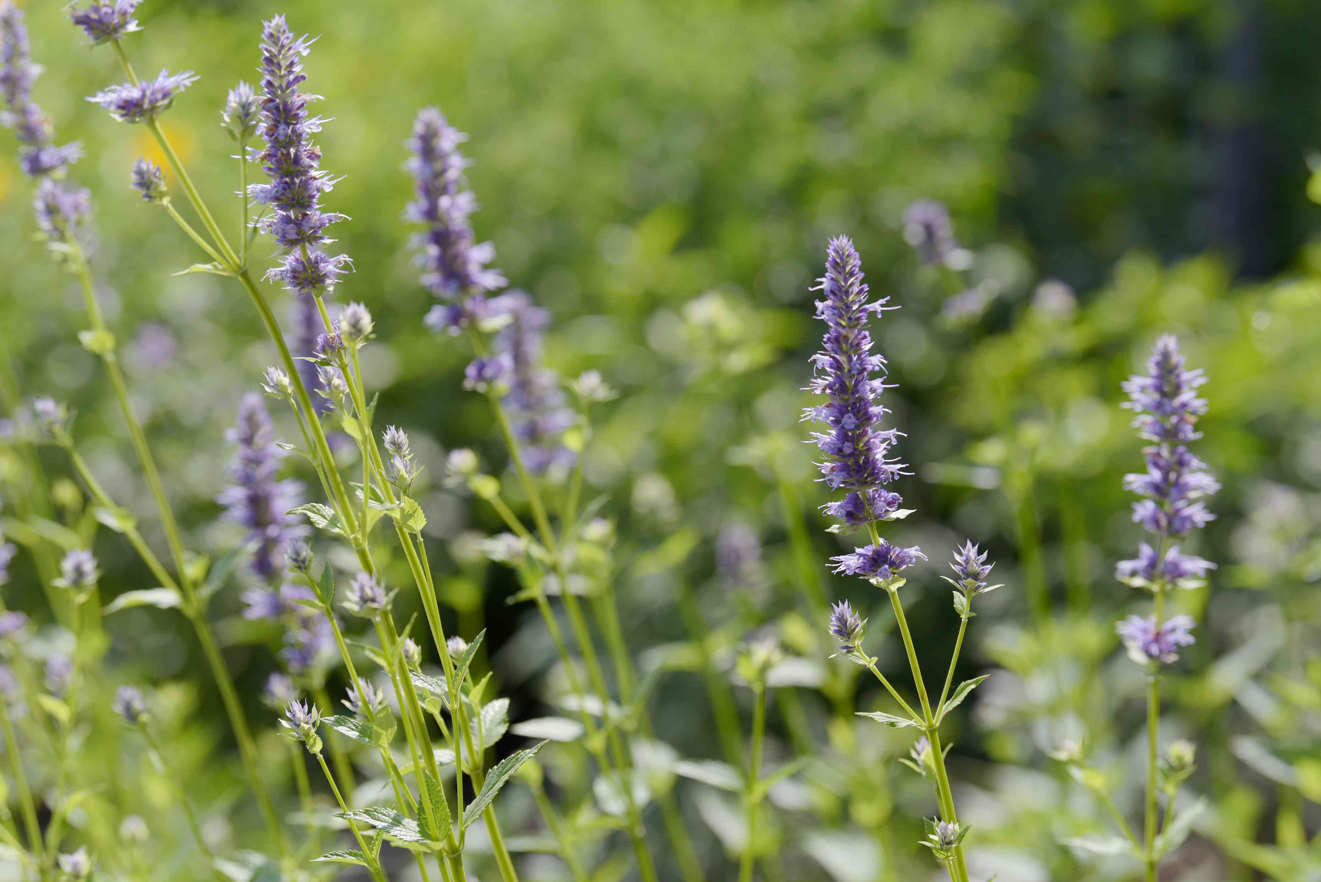 Purple giant hyssop plant spikes with small purple flowers on top closeup