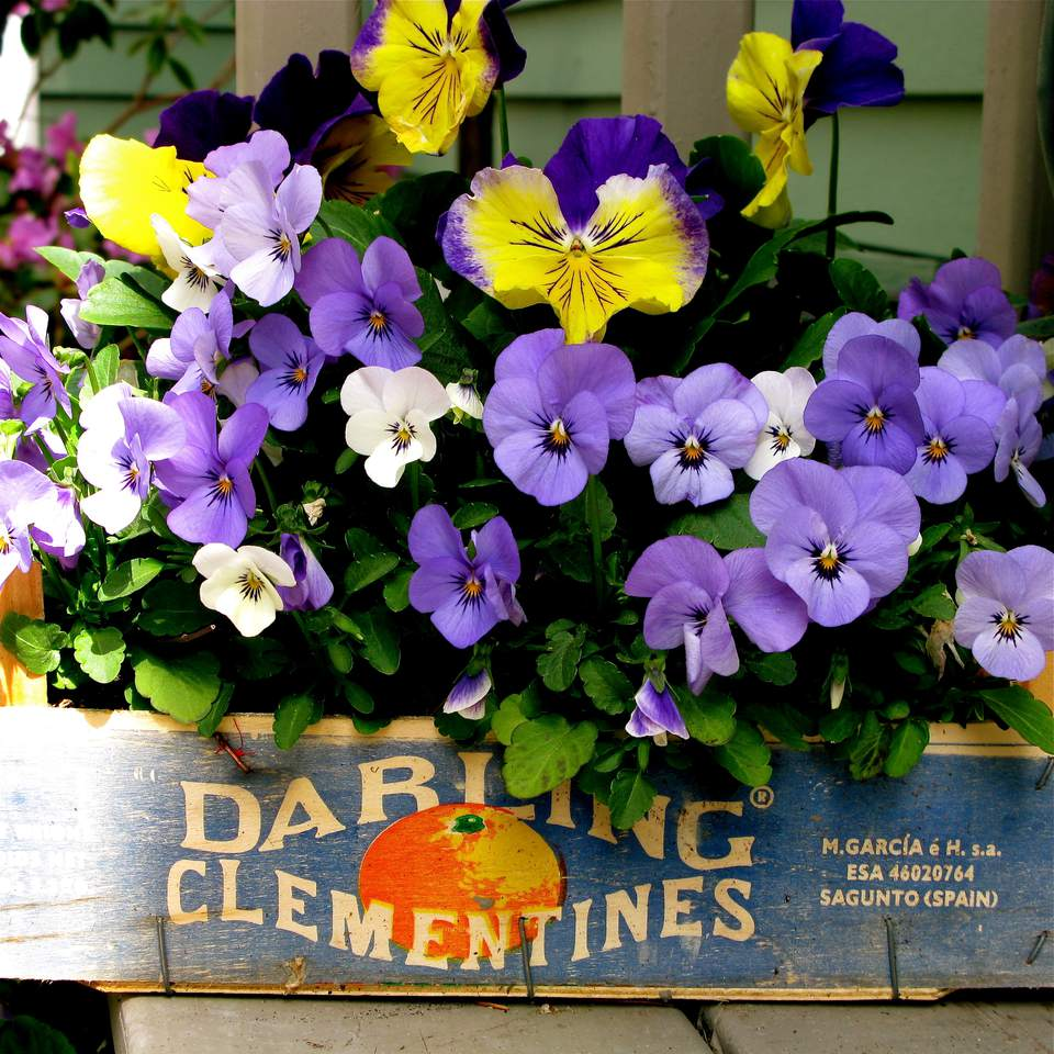 Pansies in Clementine Orange Box