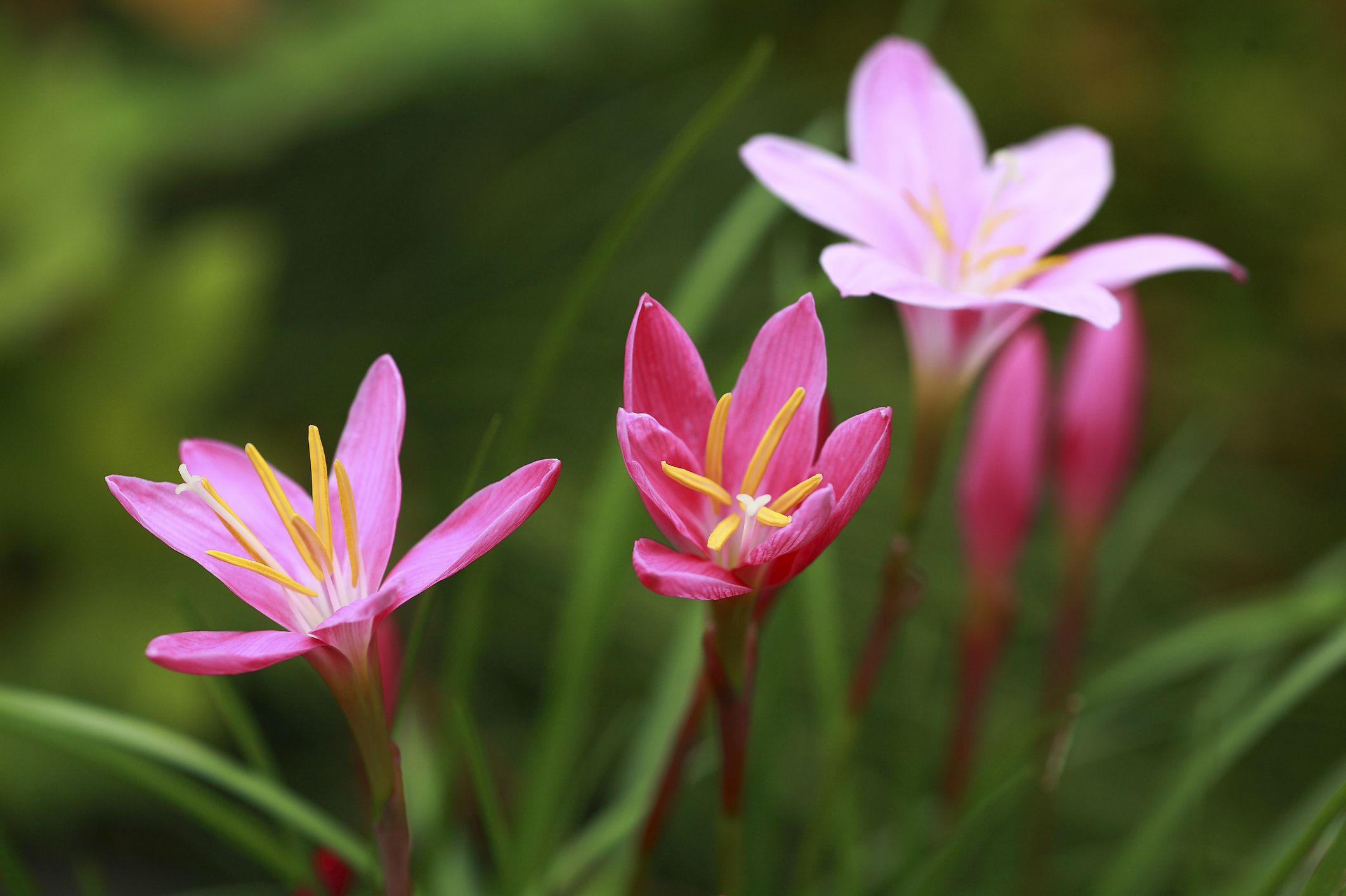 Growing Rain Lilies In The Flower Garden