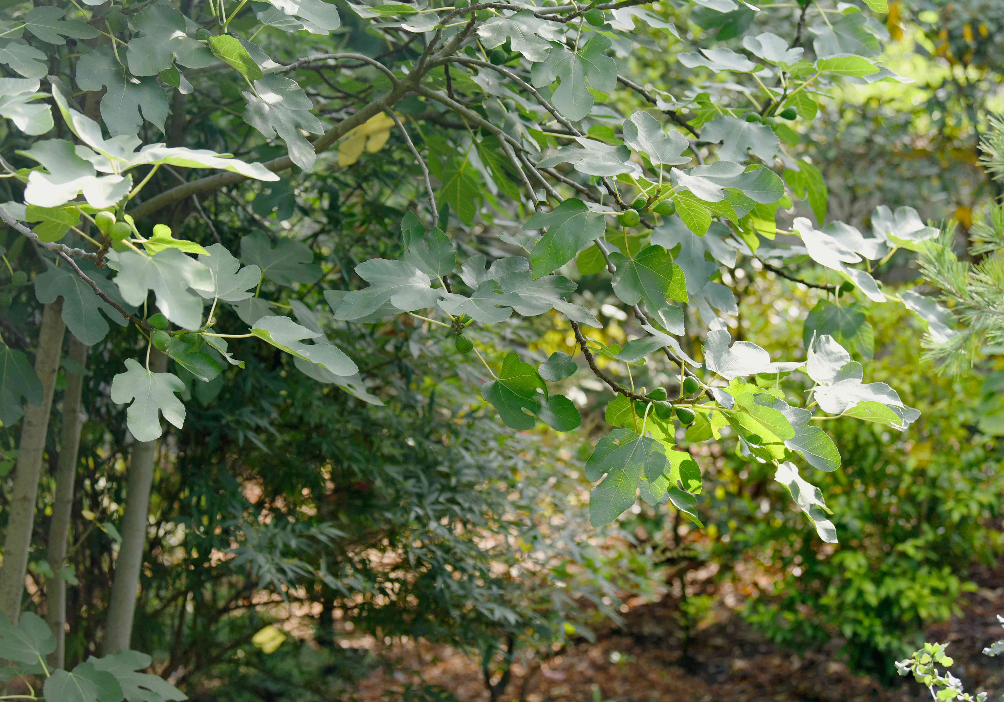 Common fig tree with branches hanging over with large leaves